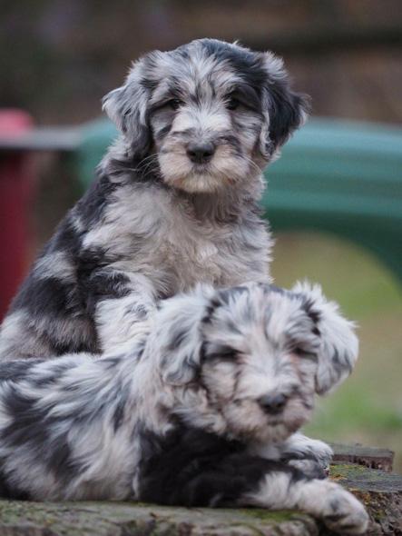 Silver Pastori Bergamascos Bergamasco Sheepdog Breeder